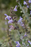 Three-leaved Sage Stock Photography