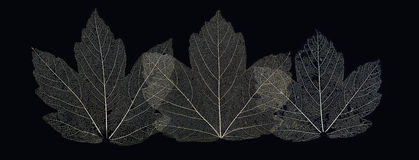 Three leaves. Leaves skeletons on black background Royalty Free Stock Photo