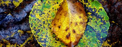 Three leaves. Three layered autumn leaves macro shot Royalty Free Stock Images