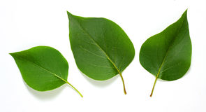 Three leaves Stock Photo
