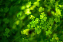 Three leaves clover background Royalty Free Stock Photos