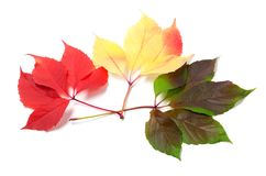 Three leaves of different seasons isolated on white background Stock Image