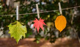 Three leaves hanging with clothes pins outside in the sunshine on a clothes line. royalty free stock image