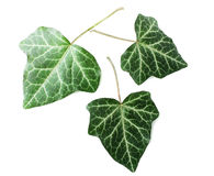 Three leaves isolated Royalty Free Stock Image
