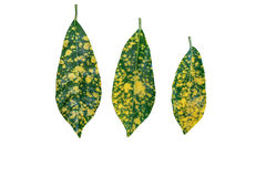 The three Leaves. Isolated on white background Royalty Free Stock Photos