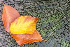Three leaves on an old beech tree stump Stock Photography