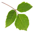 Three Leaves Poison Ivy Isolated Stock Photos
