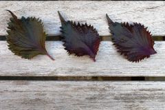 Three leaves of purple shiso perilla herb Royalty Free Stock Image