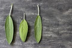 Sage leaves. Three leaves of scented sage on a wooden background stock image