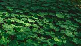 Three leaves shamrocks growing in the forest. Natural background with three-leaved shamrocks growing in the summer forest. St. Patricks Day concept. Shallow royalty free stock photos