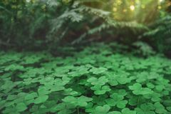 Three leaves shamrocks growing in the forest. Natural background with three-leaved shamrocks growing in the summer forest. St. Patricks Day concept. Shallow stock images