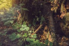 Three leaves shamrocks growing in the forest. Natural background with three-leaved shamrocks growing in the summer forest. St. Patricks Day concept. Shallow stock photos