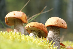 Three Leccinum in moss vertical Royalty Free Stock Images