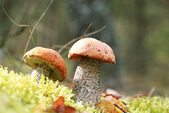 Three Leccinum in moss vertical Stock Image