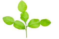 Three leech lime stock image