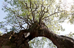 Three Leged Tree Saint Lawrence Mission Brazil Stock Image