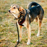 Three Legged Dog. Outdoor Dog Portrait With Only Three Legs stock photos