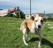 Three-legged dog in rural township Knysna South Africa royalty free stock photo
