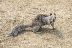 Three-legged eekhoorn stock fotografie