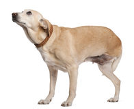 Three legged mixed-breed dog, 11 years old Stock Image