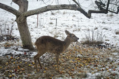 Three Legged Roe Deer In Winter Garden Stock Photography