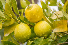 Three lemons. Horizontal photo, photo took in New Zealand Stock Image
