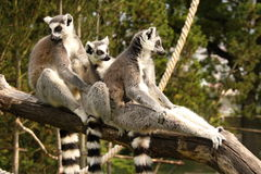 Three lemurs holding each other Stock Image