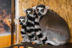 Three lemurs look at the frame royalty free stock image