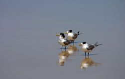 Three lesser-crested terns (Sterna bengalensis) Royalty Free Stock Photo