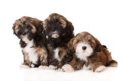 Three lhasa apso puppies Stock Photography