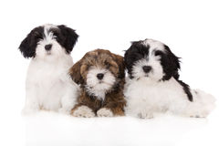 Three lhasa apso puppies Royalty Free Stock Image