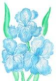 Three light blue irises, painting Stock Photography