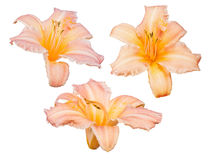 Three light orange lily blooms isolated on white Royalty Free Stock Photography