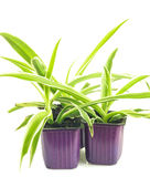 Three lilac pots with seedlings of chlorophytum. Isolated on white background Royalty Free Stock Photos