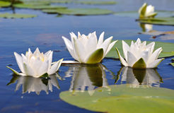 Three lilies Stock Photography