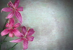 Three lilies flowers Royalty Free Stock Images