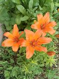 Three lilies. On a green background of foliage. Photo taken on a mobile phone camera stock images