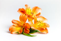 Three lily flowers on white background. Stock Photos