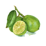 Three lime on a branch. . Watercolor Royalty Free Stock Photography