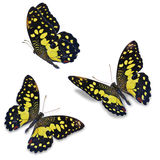 Three lime butterfly Royalty Free Stock Photos