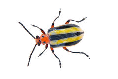 Three-lined Potato Bug. A beautiful, colorful 3-lined potato beetle on white background stock image