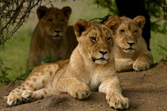 Three Lion. Three young african lion cubs Royalty Free Stock Photography
