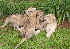 Three Lion Babies playing in a Park Stock Photo