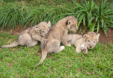 Three Lion Babies playing in a Park Royalty Free Stock Photography
