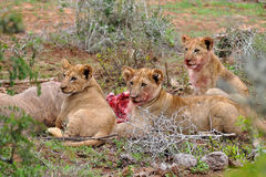 Three lion cubs eating the kudu antelope. Rare possibility to see lions cubs at eating after hunting its mother. Photo taken in Addo national elephant park.South Stock Photography