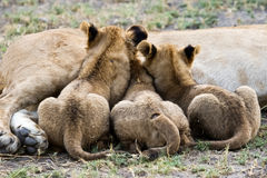 Three lion cubs nursing. Royalty Free Stock Image