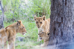 Three lion cubs Stock Photos