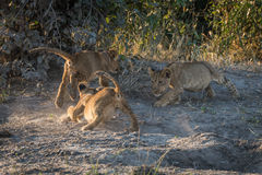 Three lion cubs playing on dusty ground Stock Photos