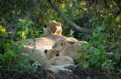 Three Lion cubs, Serengeti, Tanzania Royalty Free Stock Image