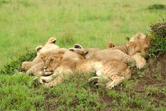 Three lion cubs sleeping on the grass Stock Photos